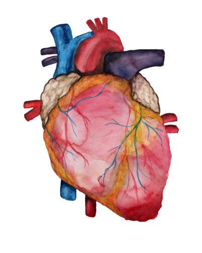 Aquarel van het menselijk hart buitenkant